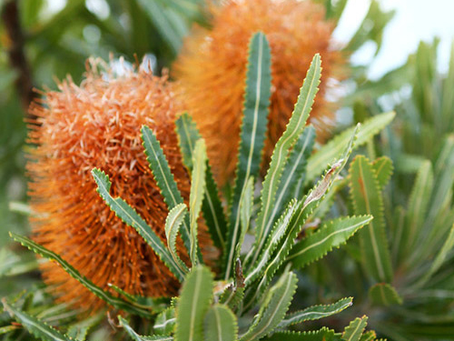 two orange banksia flowers